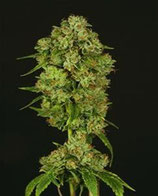 CASEY JONES * DEVIL'S HARVEST SEEDS FEM