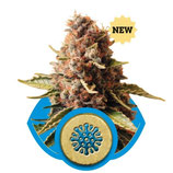 EUPHORIA - ROYAL QUEEN SEEDS - FEMMINIZZATA