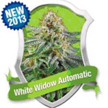 WHITE WIDOW AUTOMATIC * ROYAL QUEEN SEEDS AUTO
