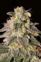 SHARK SHOCK CBD * DINAFEM SEEDS FEM