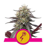 GREEN PUNCH * ROYAL QUEEN SEEDS