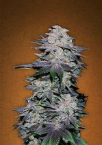 BLACKBERRY * FAST BUDS SEEDS AUTO FEM
