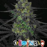 CRIMINAL * RIPPER SEEDS  FEM