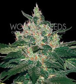 AFGAN KUSH * WORLD OF SEEDS FEM