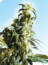 MEXICAN SATIVA® * SENSI SEEDS  FEM