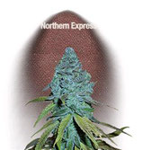 NORTHERN EXPRESS * FAST BUDS SEEDS