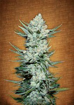 TANGIE MATIC * FAST BUDS SEEDS