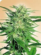 BIG BUD * SENSI SEEDS  FEM