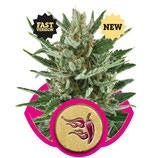 SPEEDY CHILE FAST VERSION - ROYAL QUEEN SEEDS - FEMMINIZZATA