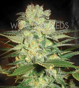 AFGHAN KUSH X WHITE WIDOW * WORLD OF SEEDS FEM