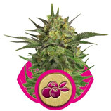HAZE BERRY ROYAL QUEEN SEEDS - FEMMINIZZATA