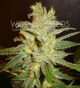 NORTHERN LIGHT X BIG BUD * WORLD OF SEEDS  FEM