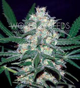 PAKISTAN VALLEY * WORLD OF SEEDS  FEM