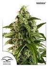 AUTO EUFORIA * DUTCH PASSION FEMINIZED