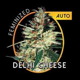 DELHI CHEESE AUTO * VISION SEEDS  FEM