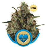 MEDICAL MASS - ROYAL QUEEN SEEDS - FEMMINIZZATA
