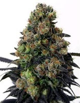 ACID DOUGH * RIPPER SEEDS FEM