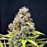 SHARK SHOCK* CBD- CREW SEEDS  FEM