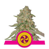 SWEET ZKITTLEZ * ROYAL QUEEN SEEDS