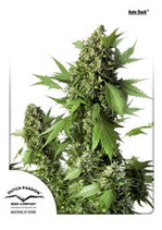 AUTO DUCK * DUTCH PASSION FEMINIZED