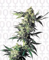 NORTHERN LIGHTS® * SENSI SEEDS  FEM
