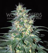 SOUTH AFRICAN KWAZULU * WORLD OF SEEDS FEM