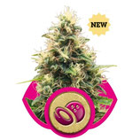 SOMANGO XL - ROYAL QUEEN SEEDS - FEMMINIZZATA