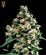 JACK HERER * GREEN HOUSE FEMINIZED