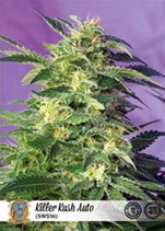 KILLER KUSH AUTO * SWEET SEEDS FEMINIZED