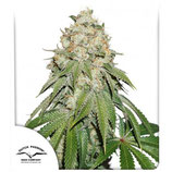 BANANA BLAZE ® * DUTCH PASSION FEM