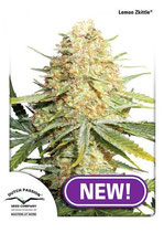 LEMON ZKITTLE ® * DUTCH PASSION  FEM