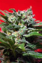 GANESH SPIRIT * SWEET SEEDS FEMINIZED