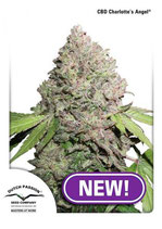 CBD CHARLOTTE'S ANGEL ® * DUTCH PASSION  FEM