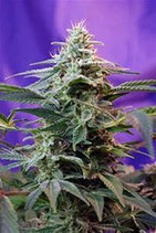 SWEET SPECIAL F1 FAST VERSION * SWEET SEEDS FEMINIZED