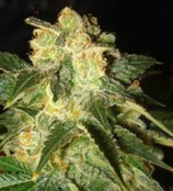 PAKISTAN RYDER AUTO * WORLD OF SEEDS  FEM