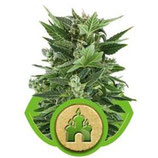 ROYAL KUSH AUTOMATIC * ROYAL QUEEN SEEDS  AUTO