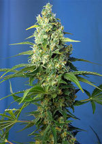 HONEY PEACH AUTO CBD® * SWEET SEEDS FEMINIZED