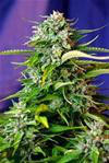 JACK 47 AUTO * SWEET SEEDS FEMINIZED