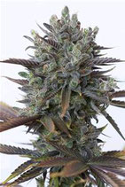 PURPLE ORANGE CBD* DINAFEM SEEDS FEM
