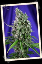 AUTO SWEET TRAINWRECK * SWEET SEEDS FEMINIZED
