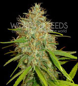 AFGHAN KUSH X SKUNK * WORLD OF SEEDS  FEM