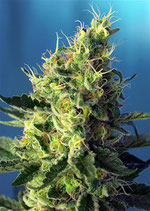 SWEET PURE CBD ® * SWEET SEEDS FEMINIZED