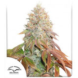 AUTO BANANA BLAZE ® * DUTCH PASSION  FEM