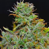 SUPERBERRY - HELVETIC SEEDS -  FEM