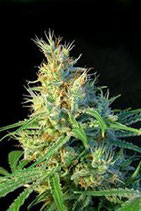 PSICODELICIA * SWEET SEEDS FEMINIZED