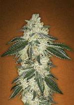 GREEN CRACK * FAST BUDS SEEDS AUTO FEM
