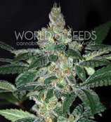 AMNESIA * WORLD OF SEEDS  FEM