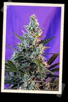 SWEET SKUNK AUTO * SWEET SEEDS FEMINIZED