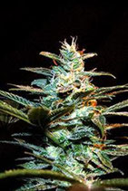 ICE COOL * SWEET SEEDS FEMINIZED