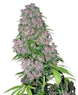 PURPLE BUD * SENSI WHITE LABEL FEM